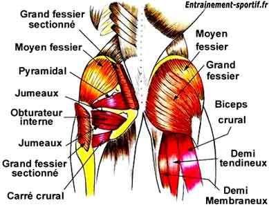 Le muscle fessier - Muscu maison